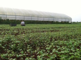 Buckwheat Greens!
