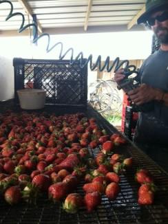 Scrawberries