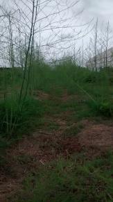Asparagus in Bloom
