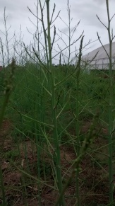 Asparagus growing into trees