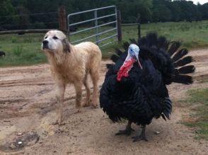 LGD with turkey