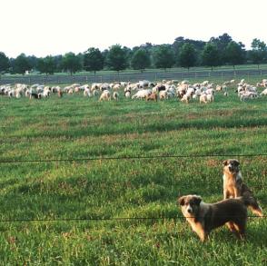 LGDs with sheep