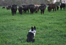 Pancho and cattle